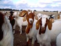 i am looking to purchase about 5 female boer goats