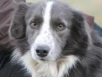 Hi I am looking for a purebred Border Collie or