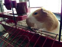 I have a male long haired guinea pig I need to pass on