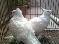 Wanted Crested Fill Back pigeons pure white Breeding