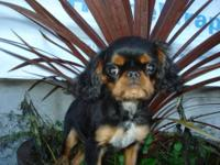 The English Toy Spaniel is very loving and loyal. They