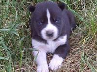 Hi, Im looking for a husky puppy. See Im heading out of