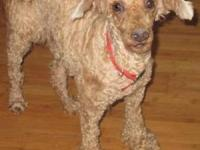 We are looking to Buy an adult male mini poodle In the