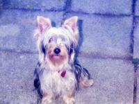I am wanting a male Yorkie with AKC papers must be