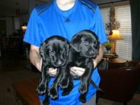 I am looking to BUY a pure bred male labrador pup.