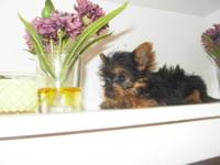 Teacup Yorkie For Sale In Mississippi Classifieds Buy And Sell In