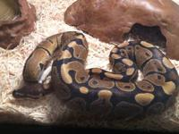 I have a Ball Python I can't have him at my new house