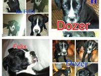 I am looking for a female boxer puppy to add to my
