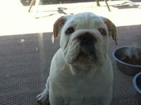 I would love to give a English Bulldog a good home,