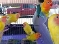 I'm looking to buy several birds. Ranging from love