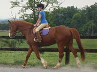 Warmblood - Ami - Large - Adult - Female - Horse Ami