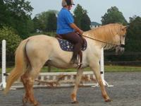 Warmblood - Cisco - Large - Adult - Male - Horse Cisco