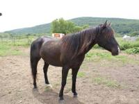 Warmblood - Stormy - Large - Adult - Male - Horse ****