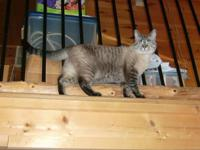 Wasabi is a blue-eyed Siamese/Tabby mix DSH with gray