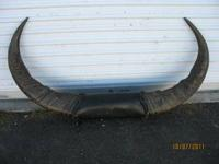 "Hugh antique set of Water Buffalo horns, 52"" spread"