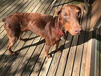 My story Watts is an adorable red Doberman that has had