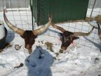 I have three very impressive Watusi Longhorn cattle