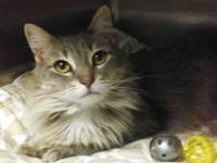 Waverly is a 7 year old female long-haired Gray Tabby.