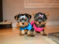 We are adopting our beautiful litter of Teacup Yorkie