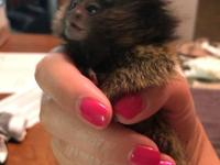 we are giving out these Cute baby pygmy Marmoset