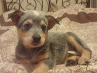 6 LEFT Registered Blue/Red Australian Cattle dog pups 4