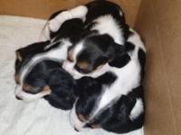 We've got seven gorgeous puppies (breed description
