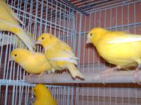 We have more to 100 Canaries most females (80 o more),