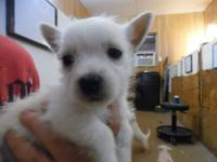 We have several Male Westies and a few Females. All are