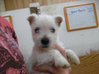 We have some Male & Female Westies for sale! All are
