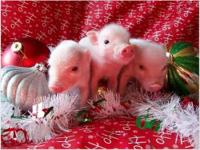 We have some great lovable piglets from one of our