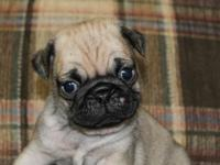 We have a fawn male pug puppy ready to go Oct 8th. He