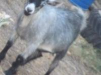Mated pair of pygmy goats for sale these guys are alot