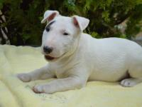 We have a stunning litter Bull Terrier  Only male and