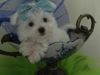 We have a stunning litter Maltese  Only male and