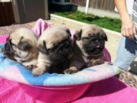 We have beautiful Pug puppies awaiting new homes and