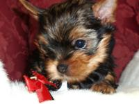 We have beautiful SMALL Yorkshire Terrier puppy just in