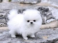 We have Pomeranian puppies available for new homes,