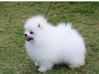 We have purebred, Pomeranian puppies good, loving and
