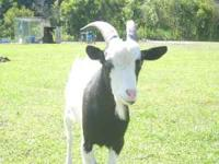 We have several fainting goats to choose from, prices