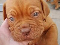 We have two absolutley gorgeous french mastiff