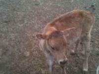I have 1 weaned jersey bull calf, he is around 3 months