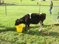 I have a weaned holstein steer for sale . He is about
