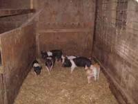 We have 6 week old weaners for sale, $95.00 Call David