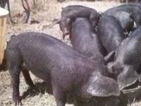 Large Black x Tamworth 3 + months weaner piglets. All