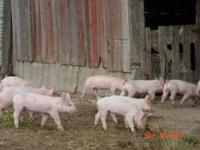 Pigs - Hogs - Piglets, males castrated and all READY to