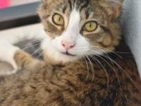 My story Wednesday is a long hair patch tabby who loves