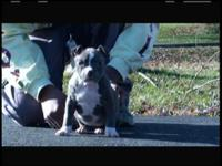 FOR SALE 13 WEEK OLD BLUE FEMALE. UKC REGISTERED 1ST 3