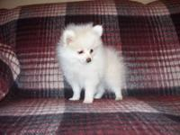 I have a gorgeous male cream pomeranian puppy