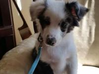 Weekend Special! $ 700 Blue Merle Male This little boy