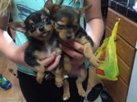 I have 2 Yorkshire Terriers and 5 Chorkies for sale